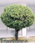 Codiaeum variegatum ´Pictum Spot´