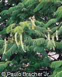 Anadenanthera colubrina