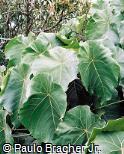 Macaranga grandifolia