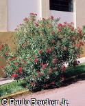 Nerium oleander ´Little red´