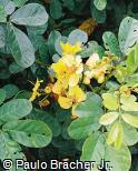 Senna appendiculata