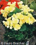 Begonia  ´Annika Dark´