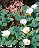 Oxalis purpurea ´Grand Duchess´