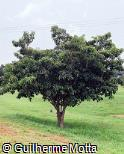 Byrsonima lancifolia