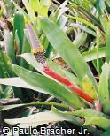 Aechmea maculata
