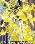 Oncidium blanchetii