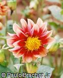 Dahlia pinnata ´Johnny Casey´