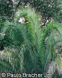 Parajubaea torallyi