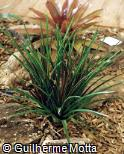 Vriesea plurifolia