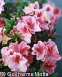 Rhododendron simsii ´Gloria´
