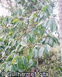 Campomanesia xanthocarpa