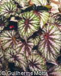 Begonia rex ´Shari A´
