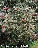Hibiscus rosa-sinensis ´Variegata´