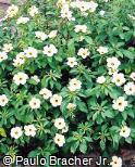 Turnera ulmifolia ´Elegans´