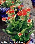 Kalanchoe blossfeldiana ´Calandiva Charming Red´