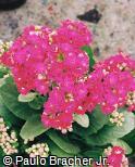 Kalanchoe blossfeldiana ´Leonardo´