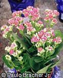 Kalanchoe blossfeldiana ´Calandiva Soft Pink´