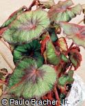 Begonia rex ´Fire Flush´