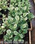 Peperomia obtusifolia ´Estampada´