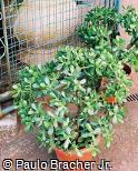 Sedum nussbaumerianum
