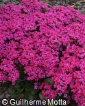 Kalanchoe blossfeldiana ´Guntur´