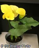 Zantedeschia  ´Black Magic´