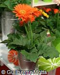 Gerbera jamesonii ´Firestarter´