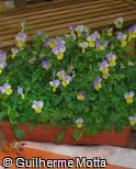 Viola wittrockiana ´Ultima morpho´