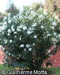 Nerium oleander ´Sister Agnes´