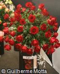 Rosa x grandiflora ´Carola´