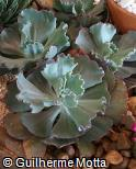 Echeveria gibbiflora ´County Fair´