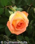 Rosa x grandiflora ´Michelle wright´