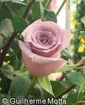 Rosa x grandiflora ´Avant garde´