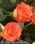Rosa x grandiflora ´Utopia´