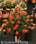 Rosa x grandiflora ´Verano´