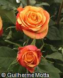 Rosa x grandiflora ´Cherry brandy´