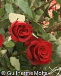 Rosa x grandiflora ´Caballero´