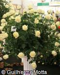Rosa x grandiflora ´Polar star´