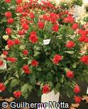 Rosa x grandiflora ´Hot lady´