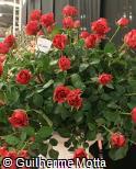 Rosa x grandiflora ´Milano´