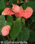 Anthurium andraeanum ´Nevada´