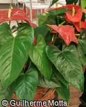 Anthurium andraeanum ´African King´