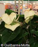 Anthurium andraeanum ´White Queen´