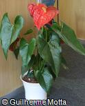 Anthurium andraeanum ´Red Queen´