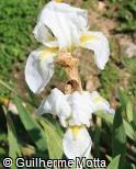 Iris x germanica ´Florentina´