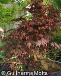 Acer palmatum ´Bloodgood´
