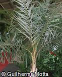 Syagrus coronata
