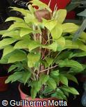 Philodendron scandens ´Golden´