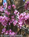 Cercis canadensis ´Forest Pansy´