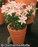 Lilium speciosum ´Farolito´